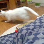 Funny Animal Videos-white cat missile launch from Kotatsu(Japan's Hot Table)